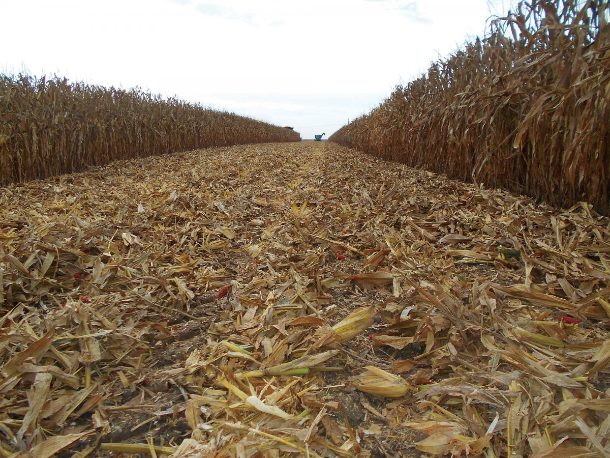 freshly crimped and crushed stalks in the field by the 5000 stalk devastator